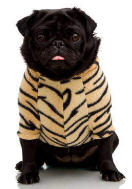 BlackPugTigerShirt