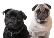Black and white pugs