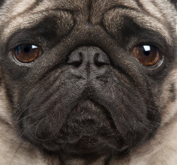 Pug Face Closeup