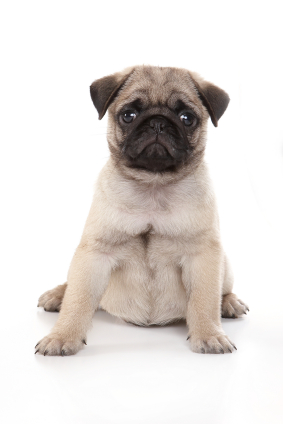 Puppies on Pug Puppies And Potential Problems