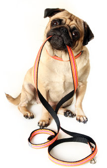 Pug With Leash