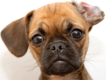 Puggles Adopt A Brussels Griffon Puppy