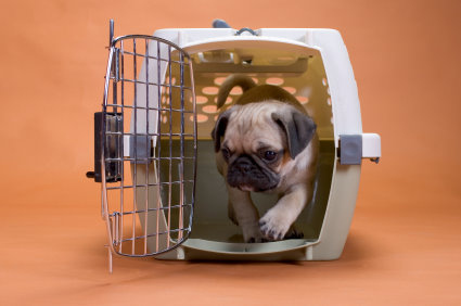 Pug Leaving Crate