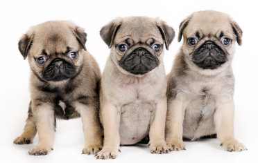 Rescue Puppies on Do Free Pug Puppies Exist